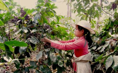 Peru fairtrade (Arabica) koffie